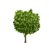 Separate ficus tree with green leaves Stock Image