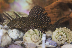 Separate Odinary Corydoras Paleatus Individual known as Sheatfishin in Personal Aquarium Indoors. Horizontal Image stock photo
