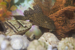 Separate Ordinary Corydoras Paleatus Individual known as Sheatfishin in Personal Aquarium Indoors. Horizontal Image Composition stock photo