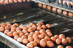 Separate size eggs machines Stock Photo