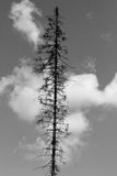 Separate tree, dried because of the bark beetle. Black and white Stock Photos