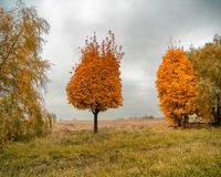 A separate tree with an unusual crown. In the autumn forest. Storm clouds in the sky. Yellow-orange autumn colors Kiev, Ukraine, Europe Royalty Free Stock Images