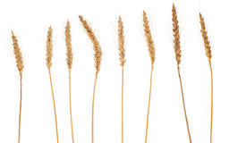 Separate wheat crops isolated, on white background Stock Photos