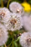 Separately taken deflorate dandelion near the leafless withered Royalty Free Stock Photography