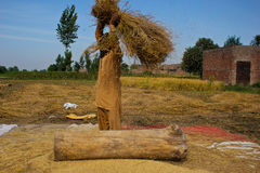 Separating Rice grains. The photograph is taken at the time of rice season in Punjab (Pakistan), people get up early in the morning and start their work in the Stock Image