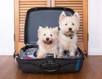 Separation anxiety: two scruffy west highland white westie terri. Er dogs are in packed suitcase & do not want owner to go on vacation royalty free stock photo