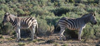 Separazione della zebra immagine stock