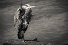 Sepia птицы сельдей Стоковое фото RF