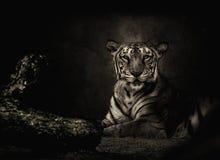 Sepia тонизировал тигра Бенгалии стоковое изображение rf