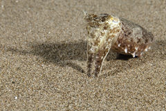 Sepia aculeata Needle Cuttlefish. Sepia aculeata Sepia aculeata Needle Cuttlefish in Pacific Ocean - Philippino Royalty Free Stock Photo