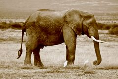 Sepia African Elephant Stock Photos