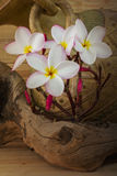 Sepia and antique colour tone of pink flower plumeria bunch. With old baked clay vase and wood background Stock Image