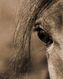 Sepia Arabian stallion eye Royalty Free Stock Image