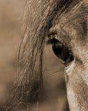 Sepia Arabian stallion eye. Eye of Arabian stallion in sepia Royalty Free Stock Image