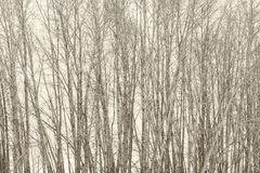 Sepia Birch Tree Grove Royalty Free Stock Image