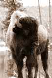 Sepia Bison Royalty Free Stock Images