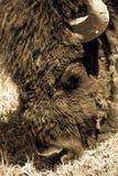Sepia Bison Head fotos de stock