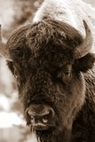 Sepia Bison Portrait. Sepia toned American Bison portrait up close, taken in Yellowstone National Park Stock Images