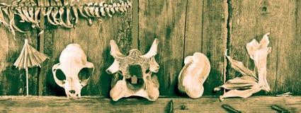 Sepia bones. Still life composition with bones, skull, plant etc Stock Images