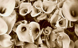 Sepia calla lillies bunch Stock Photo