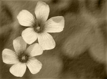 Sepia Clover Royalty Free Stock Image