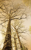 Sepia colored old trees. Photographed from below in a forest area with the sky at the background Royalty Free Stock Images