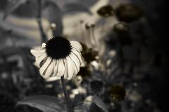 Sepia Cone Flower. Echinacea Sepia Royalty Free Stock Photo