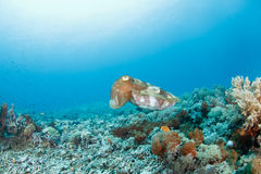 Sepia or cuttlefish. A sepia or cuttlefish hovering in the reef royalty free stock photography