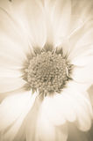 Sepia Daisy Royalty-vrije Stock Foto's