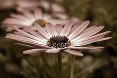 Sepia Daisy Royalty Free Stock Photography