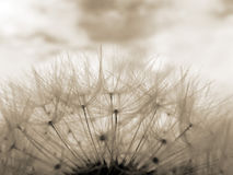 Sepia dandelion clock Royalty Free Stock Photos