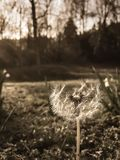 Sepia Dandelion royalty free stock photography