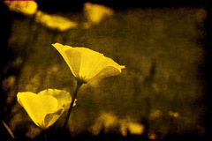 Sepia del grunge de la amapola de California Foto de archivo libre de regalías