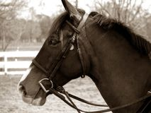 Sepia do cavalo Fotos de Stock
