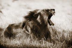 Sepia do leão imagem de stock