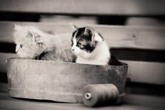 Sepia för två kattunge arkivbild