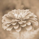 Sepia flower zinnia. Zinnia. Floral background. Shallow depth of field. Sepia Stock Photos