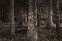 Sepia forest Royalty Free Stock Image