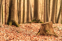 Sepia Forest Stock Photography