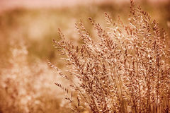 Sepia grass Stock Photography