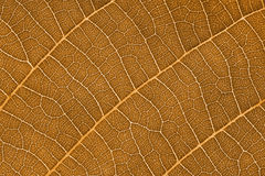 Sepia Leaves. This is a close up shot of leaf in sepia like nice nature background Stock Image