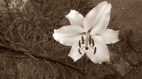 Sepia lily flower. Photo taken in Poland , April 25, 2017 Stock Images