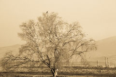 Sepia Lone Tree. A sepia photo of a lone tree Stock Image