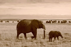Sepia of mother and calf elephant in Kenya Stock Image
