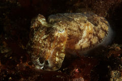 Sepia officinalis - Cuttlefish - Bay of Brest. Underwater picture taken in the Bay of Brest, Finistere, Brtanny France in 2011 Royalty Free Stock Photography