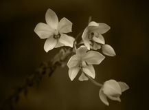 Sepia Orchids. Small Orchids in sepia tone stock image
