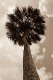 Sepia-Palme von unterhalb Stockfotografie