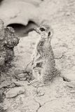 Sepia photo of baby meerkat Royalty Free Stock Photos