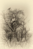 Sepia photo of crows on tree Royalty Free Stock Image