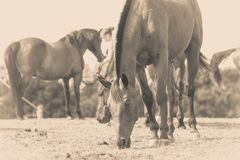 Sepia photo of horse grazing grass Royalty Free Stock Images
